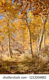 Trail thru the Aspen with fall color.