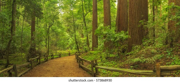 A trail winds through a redwoods forest in Henry Cowell Redwoods State Park, California.