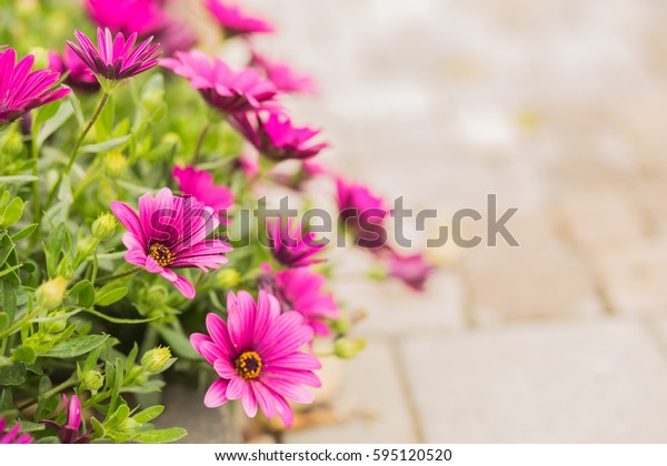trailing African daisy purple flowers background.