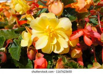 Trailing begonia illumination apricot yellow and red flowers close up