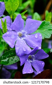 Trailing Myrtle, an evergreen ground cover known as periwinkle, with raindrops