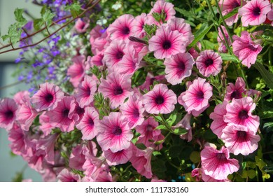 Trailing petunia flowers in a hanging basket.