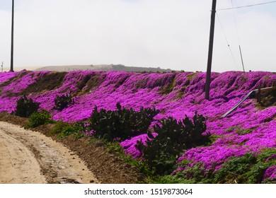 Trailing Purple Ice Plant (Delosperma cooperi) blooming on side road in spring season