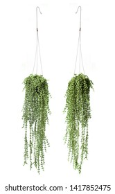 Trailing of String of Nickels, Dischidia nummularia, Indoor Hanging Plants for Home or Balcony, coin-shaped leaves and gorgeous silver variegation. Front and Back isolated on white background.