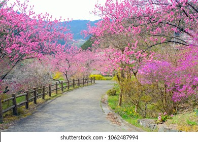 Trails of pink peach blossoms bloom