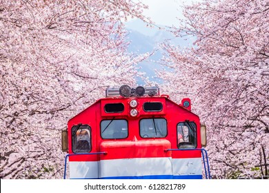 Train is coming between raw of cherry blossom in Jinhae, Jinhae Gunhangje Festival is the largest cherry blossom festival in Korea, Gyeonghwa Railway Station, South Korea