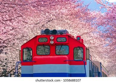 Train is cover by Cherry Blossom at Jinhae Cherry Blossom festival, South Korea. Jinhae Gunhangje Festival is the largest cherry blossom festival in Korea, Gyeonghwa Railway Station, South Korea