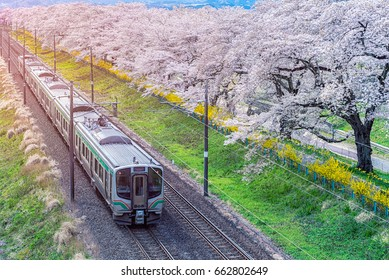 Train on the railroad track with a row of cherry trees, This area is popular sakura spot at funaoaka Sendai, Japan