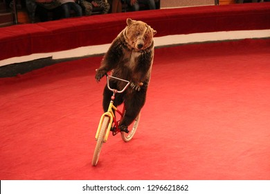 Trained bear driving on bicycle on circus ring. Bear riding bicycle in circus. Amusing bear riding bike around circus arena. Performance with trained bear in circus