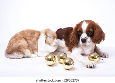 Trained cavalier king charles spaniel studio white background photography Dog with lop together celebrate christmas in real love. Animals with christmas ball ornaments enjoy christmas holiday.