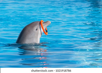 A trained dolphin spinning hoop in the pool