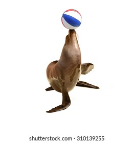 trained fur seal playing with ball on  stage