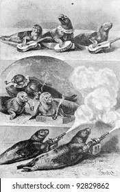 "Trained  fur seals. Engraving by Specht. Published in magazine ""Niva"", publishing house A.F. Marx, St. Petersburg, Russia, 1893"