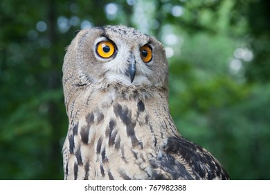 The trained owl setting in forest, european bird, nature in Russia.
