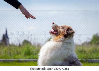 Training Australian Shepherd. Woman gesture  command stay by hand to her dog. Training animal obedience