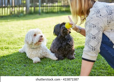 Training black and white havanese dogs to obey in the garden