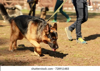 Training class for a K9 german shepherd detective dog. Scent training and searching for a track