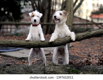 Training with dogs in the forest. Two cute jack russel terriers are standing on their hind legs. The forelegs are on a tree trunk above.