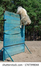 Training dogs to overcome the obstacle course. A large dog of the Caucasian Shepherd breed jumps over a two-meter wooden fence. Classes at a special training ground.