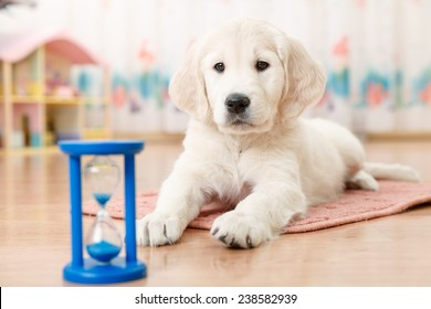 training of golden retriever puppy watching at the hourglass