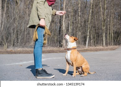 """Training a grown-up dog to do """"sit"""" command. Person schooling a staffordshire terrier in a park, obedient dog sits and listens to owner."""