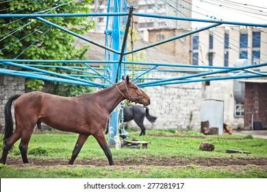 Training horses, drive around, tortured animals, training,