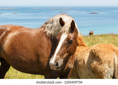 Trait Breton mare and her foal in a field near the coast in Brittany
