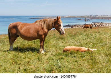Trait Breton mare and her foal in a field near the sea in Brittany