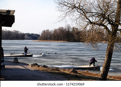 Trakai, Lithuania - April 04, 2018: Tourists taking pictures of a Swan on a frozen lake in the Park near Trakai castle in Latvia