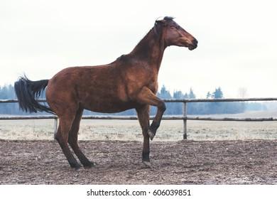 Trakehner bay horse has fun at liberty
