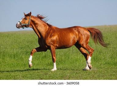 trakehner bay stallion