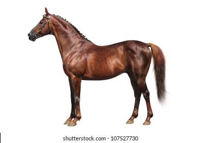 Trakehner chestnut stallion isolated on white