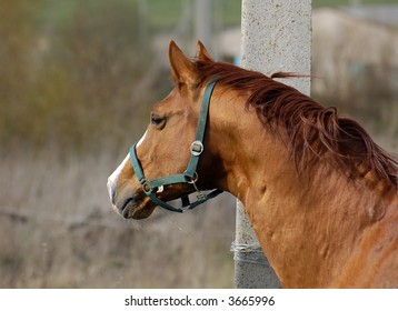 trakehner golden chestnut stallion