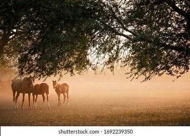 Trakehner horses herd in the sunset