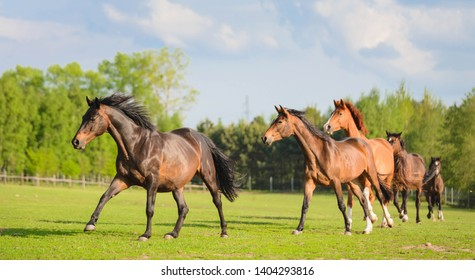 Trakehner horses running on a field on a summer day