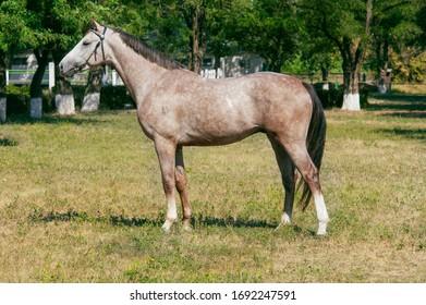 Trakehner stallion horse exterior photo