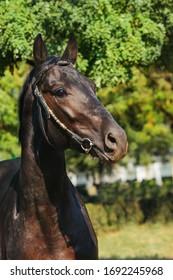 Trakehner stallion horse portrait outside