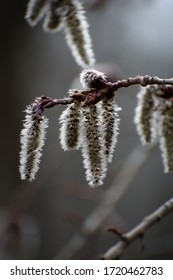 Trampling aspen (Populus tremuloides) catkins hanging from a branch with backlighting