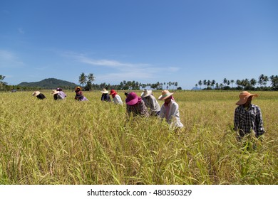 Trang, Thailand - December 12, 2015: Farmers harvest rice at Koh-Sukorn Island rice field. Koh Sukorn Island have rice field that attract tourist to come see golden rice field on island.