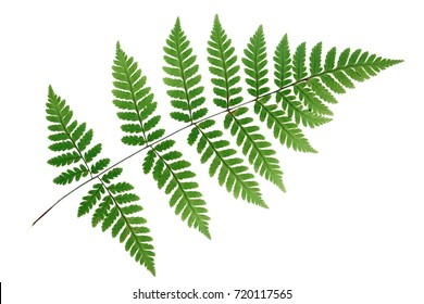 Tranlucent fern leaf isolated on white background