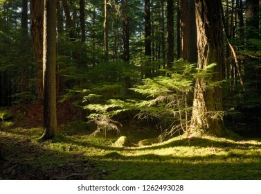 Tranquil Forest Scene bathed in Sunlight, from Orcas Islands, Washington