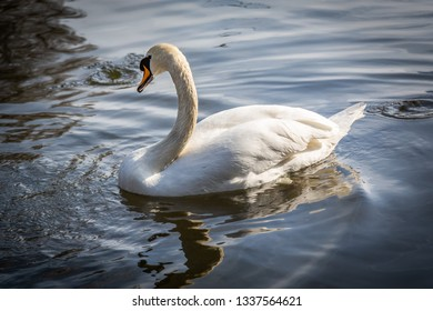 Tranquil outdoor wildlife scene of a white swan all alone in the water.