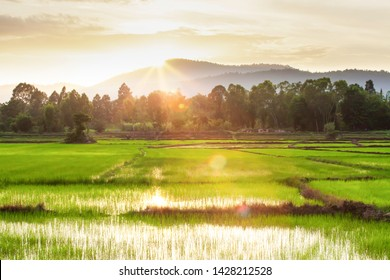 A tranquil rice paddy field at sunset, green rice seedlings in a paddy field, the sun setting over a mountain range in the background, rural scene in North Thailand.