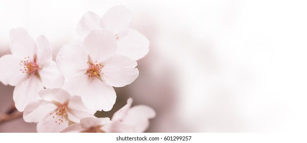 Tranquil spring cherry blossom close up background. fading in to white. wide header dimension.