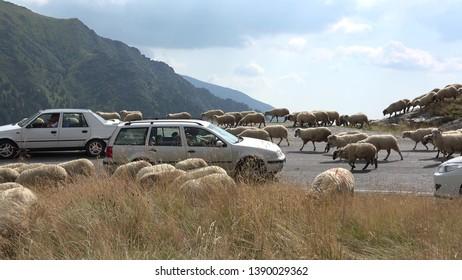 TRANSFAGARASAN, ROMANIA - AUGUST 27, 2015: Sheep herd block the mountain road, cars traffic jam on alpine highway