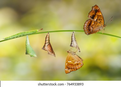 Transformation from caterpillar and chrysalis of  female siamese black prince butterfly hanging on twig ( Rohana parisatis )