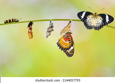 Transformation from caterpillar to caterpillar to chrysalis of Leopard lacewing butterfly ( Cethosia cyane euanthes ) molting pupa and chrysalis hanging on twig