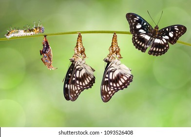 Transformation from chrysalis of Black-veined sergeant butterfly ( Athyma ranga ) hanging on twig