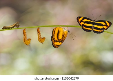 Transformation of common lascar butterfly ( Pantoporia hordonia ) from caterpillar and chrysalis, metamorphosis , growth , hanging on twig