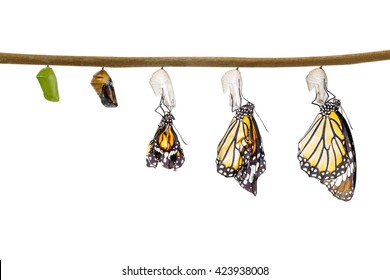 Transformation of common tiger butterfly emerging from cocoon isolated on white with clipping path